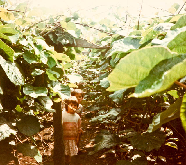 0005_kiwifruit_orchard_1985