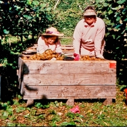 0014_kiwifruit_harvest_1990