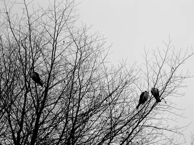 0014_wood_pigeons_in_copper_beech