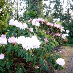 0016_loderi_rhododendrons