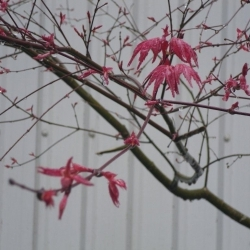 Acer, new leaves in rain.
