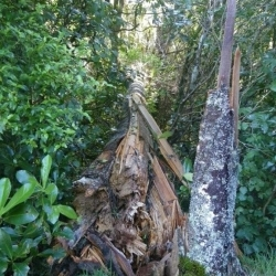 Native Rewarewa felled by SE storm 2012