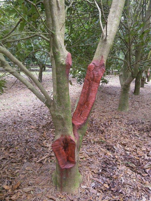 Damaged tree with prining paint on wounds.
